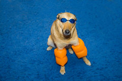 Dog in swimming  glasses Royalty Free Stock Photography