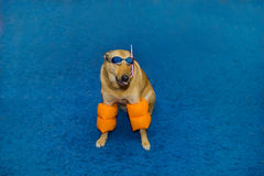Dog in swimming  glasses Royalty Free Stock Photos