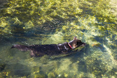 Dog swimming in L& x27;Isle-sur-la-Sorgue village in Provence France. Europe Stock Image