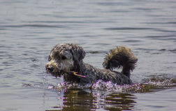 Dog. A dog swimming in a lake Stock Images