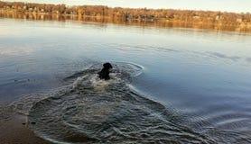 Dog swimming in Lake Royalty Free Stock Images
