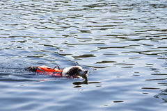Dog swimming in the lake with life jacket. Old aging dog gets back his confidence to swim again with the aid of a new life jacket royalty free stock photos