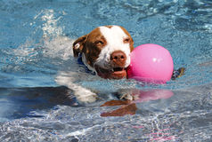 Dog swimming with a pink ball. Dog swimming in the pool with a pink ball royalty free stock photography