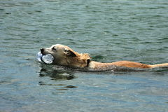 Dog swimming Stock Photos