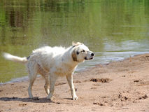 Dog after swimming. Playful young dog, white in black spotted, he came out of the water, she began to dry and from it poleleli water splashes Stock Images