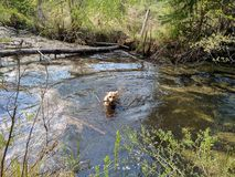 Dog swimming. Dog playing fetch in dirty water Stock Image
