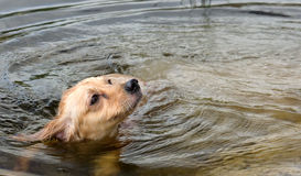 Dog Swimming in Pond Royalty Free Stock Photography
