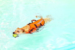 Dog swimming in pool. A dog swimming in a pool Stock Photography