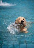 Dog swimming in pool Royalty Free Stock Photography