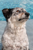 Dog by swimming pool. Border collie Australian shepherd dog canine pet sitting in swimming pool wet water looking afraid fearful hopeful wistful obedient guilty Stock Photo