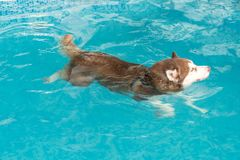 Dog swimming in pool Stock Photography