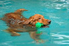 The dog swimming in pool.Dog swimming pool in summer day. royalty free stock images