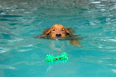 The dog swimming in pool.Dog swimming pool in summer day. royalty free stock photography