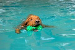 The dog swimming in pool.Dog swimming pool in summer day. royalty free stock image