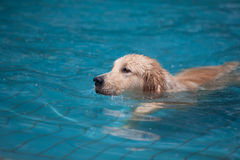 Dog swimming in pool. Golden retriever dog swimming in blue pool Stock Photos