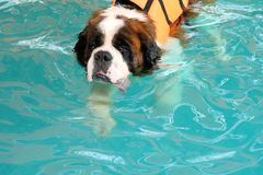 The dog swimming in pool.Dog swimming pool in summer day. Stock Image