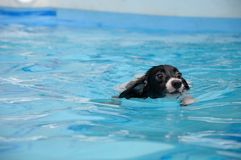 Dog Swimming. A puppy dog swimming in a pool of water Royalty Free Stock Photo