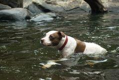 Dog swimming in a river Stock Image