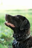 A dog after swimming in a river Stock Photography