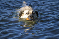 Dog swimming in the river Stock Images