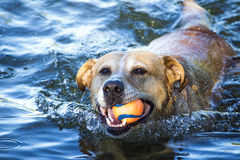 Dog swimming in the river Stock Photos