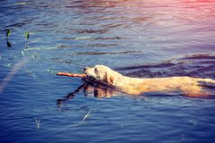 The dog is swimming in the river royalty free stock photo