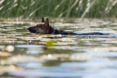 Dog swimming in the river Royalty Free Stock Photo