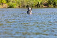 Dog swimming in the river. In the summer heat Royalty Free Stock Photo