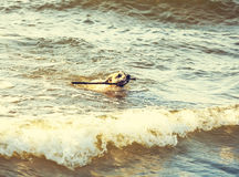 Dog swimming in sea. Stock Image