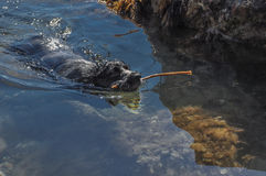 Dog swimming in the sea with a stick on a sunny day Royalty Free Stock Photos