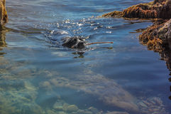Dog swimming in the sea with a stick on a sunny day Royalty Free Stock Images