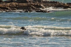 Dog swimming in set of three small waves. Dog head showing in the middle of a set of three small waves with larger wave in background stock image