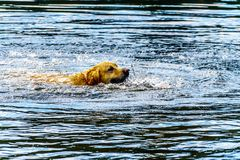 Dog swimming in Stake Lake near Kamloops British Columbia, Canada. Golden Retriever dog swimming in Stake Lake along the Lac Le Jeune Road near Kamloops British royalty free stock photos