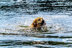 Dog swimming in Stake Lake near Kamloops British Columbia, Canada. Golden Retriever dog swimming in Stake Lake along the Lac Le Jeune Road near Kamloops British stock photography