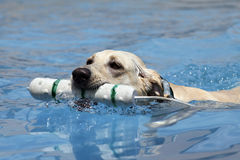 Dog swimming with toy Stock Images