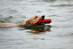 Dog swimming with toy in mouth. Beautiful golden mixed breed dog swimming while wearing a life preserver stock image