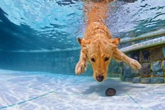 Dog swimming underwater in the pool Royalty Free Stock Photos