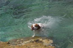 Dog swimming in water. Close up of English Pointer dog swimming towards shore in water Stock Images