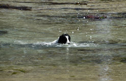 Dog swimming in water. Black and white dog swimming in the sea Royalty Free Stock Image