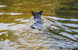Dog swimming in water Royalty Free Stock Image