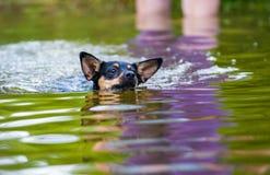 Dog swimming in water Stock Photo