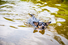 Dog swimming in water Royalty Free Stock Images