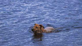 Dog in water royalty free stock photo