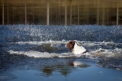 Dog swimming in the water. A dog swimming in the water to fetch a branch Stock Photo