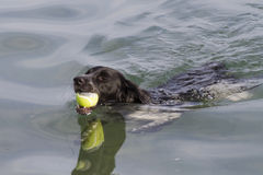 Dog swims with ball in mouth Royalty Free Stock Image