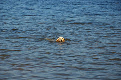 Dog swims sea. A dog swims in the sea Royalty Free Stock Photography