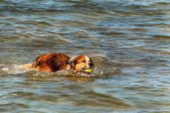 Dog swims in the sea. The dog is playing in the waves of the Baltic Sea. Fun in the water. Stock Image
