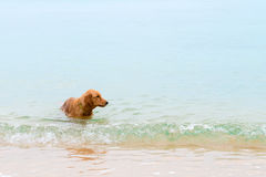 Dog swims in the sea near the sandy shore Royalty Free Stock Photography