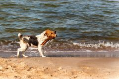 Dog swims in the sea. The dog is playing in the waves of the Baltic Sea. Fun in the water. Royalty Free Stock Images