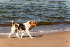Dog swims in the sea. The dog is playing in the waves of the Baltic Sea. Fun in the water. Royalty Free Stock Photos